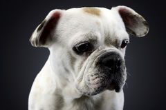 White french bulldog with funny ears posing in a dark photo stud Stock Images