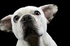 White french bulldog with funny ears posing in a dark photo stud Stock Photos