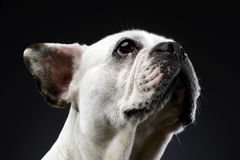 White french bulldog with funny ears posing in a dark photo stud Stock Photography