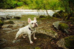 White French Bulldog standing at edge of river shore. With forest Royalty Free Stock Images
