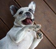 White french bulldog Royalty Free Stock Images