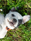 White french bulldog Royalty Free Stock Photography
