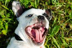 White french bulldog Stock Photography