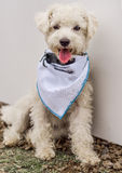White French Poodle dog. With a scarf and the tongue out Stock Images