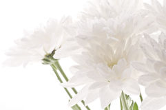 White fresh beautiful chrysanthemums abstract background Royalty Free Stock Photo