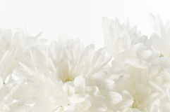 White fresh beautiful chrysanthemums abstract background Royalty Free Stock Photography