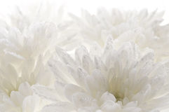 White fresh beautiful chrysanthemums abstract background Stock Image