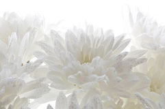 White fresh beautiful chrysanthemums abstract background Royalty Free Stock Photos
