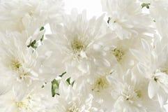 White fresh beautiful chrysanthemums close up Stock Image