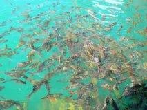 White fresh fish roach. Kind of Freshwater fish at Ratchaprapa Dam, Khaosok National Park, Suratthani, Thailand Royalty Free Stock Photo