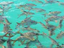 White fresh fish roach. Kind of Freshwater fish at Ratchaprapa Dam, Khaosok National Park, Suratthani, Thailand Stock Photo