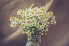 White and fresh flower camomile Stock Photography