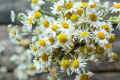 White and fresh flower camomile Royalty Free Stock Image