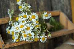 White and fresh flower camomile on a wooden old background Stock Images