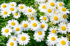 White and fresh flower camomiles background Royalty Free Stock Photos