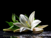 White freshness lily. Beautiful white freshness lily with buds lying  on reflection table with bright water drop on black background Royalty Free Stock Images