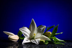 White freshness lily Stock Images