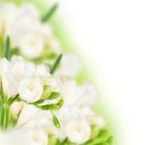 White fressia Royalty Free Stock Images