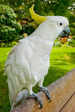 White friendly cockatoo. Standing on a bench Stock Photography