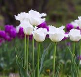 White fringed tulips Royalty Free Stock Images