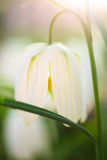White fritillaria Royalty Free Stock Images