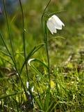 White Fritillaria meleagris flower  Stock Images