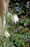 White Fritillaria meleagris Stock Image