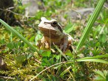 White Frog Royalty Free Stock Photos