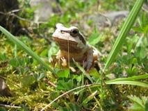 White Frog Royalty Free Stock Photos