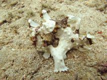 White frog fish Royalty Free Stock Image