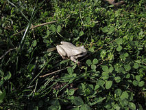 White frog in the grass Royalty Free Stock Image