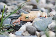 White frog and green eyed, an animal with vibrant eyes. Agalychnis callydrias lives in the rain forest stock image