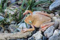 White frog and green eyed, an animal with vibrant eyes. Agalychnis callydrias lives in the rain forest stock images