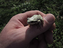 White frog on hand Stock Photos