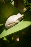 White Frog Royalty Free Stock Photography