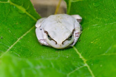White frog Stock Images