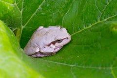White frog Royalty Free Stock Photo