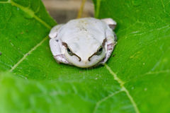 White frog Stock Photo