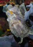 White Frogfish Royalty Free Stock Images