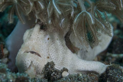 White Frogfish under Coral Polyps Stock Photo