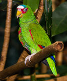 The White-fronted Amazon. (Amazona albifrons) also known as the White-fronted Parrot, or adopted slang term Spectacled Amazon Parrot is a Central American Stock Photos