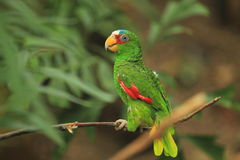 White-fronted amazon Royalty Free Stock Image