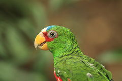 White-fronted amazon Stock Photo