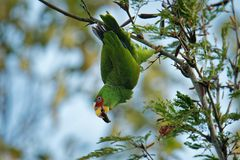 White-fronted Amazon or White-fronted Parrot - Amazona albifrons or Spectacled Amazon Parrot, is a Central American species of. Parrot stock images