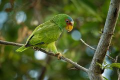 White-fronted Amazon or White-fronted Parrot - Amazona albifrons or Spectacled Amazon Parrot, is a Central American species of. Parrot stock photography