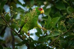 White-fronted Amazon or White-fronted Parrot - Amazona albifrons or Spectacled Amazon Parrot, is a Central American species of. Parrot royalty free stock photo