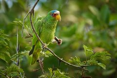 White-fronted Amazon or White-fronted Parrot - Amazona albifrons or Spectacled Amazon Parrot, is a Central American species of. Parrot royalty free stock images
