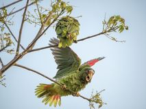 2 White-fronted Amazons on twigs. A pair of white-fronted Amazons sits on thin branches, one flapping its wings Stock Photo