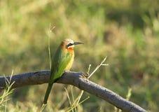 White-fronted Bee-eater Lizenzfreie Stockfotos