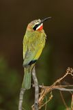 White-Fronted Bee-Eater. Found in the Kruger National Park Stock Photos